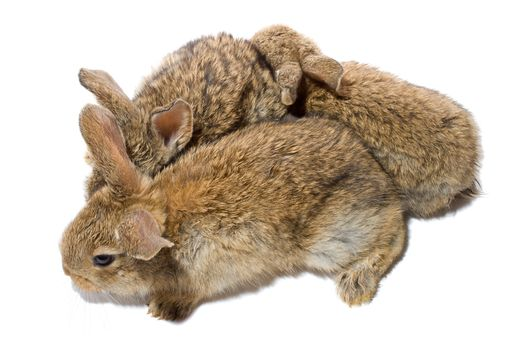 close-up three small baby rabbits, isolated on white