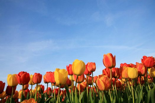Dutch spring – field of  colored tulips