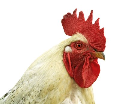 Isolated cock on white background