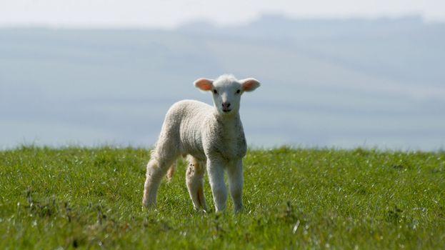 Young Lamb On Green Grass,Cornwall, UK