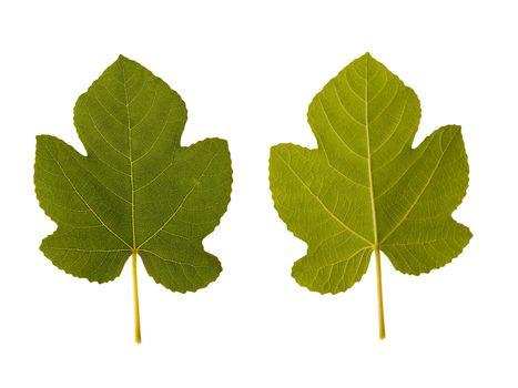 fig. one leaf - two sides