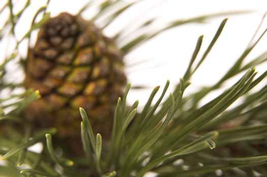 evergreen branch with cone