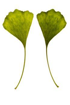 ginkgo biloba. one leaf - two sides