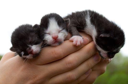 three newborn kittens in hands