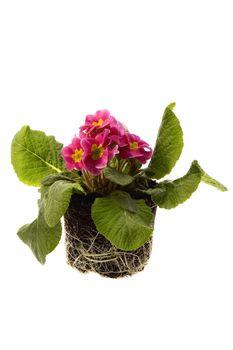 spring flowers in soil