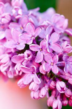 fresh lilac flower