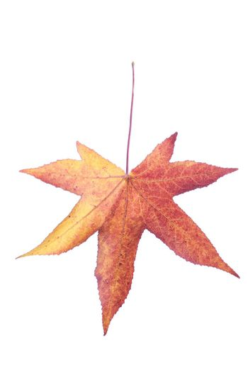 Photo of a leaf with fall colors, isolated on white background