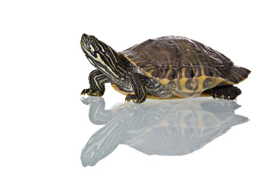 Photo of a turtle with reflection isolated on white background. Studio shot.