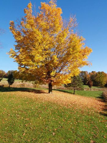 tree in the country in autumn with falling leaves