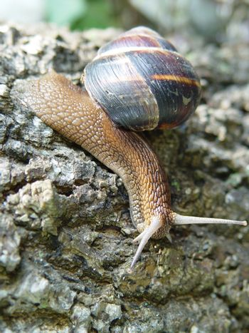 The big horned snail