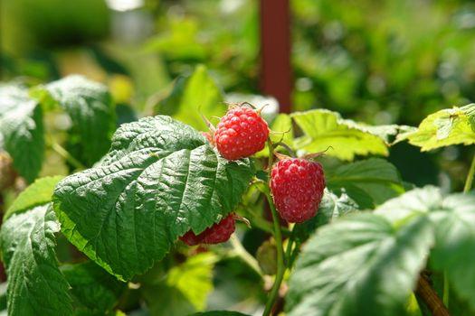 Raspberry berries on bush