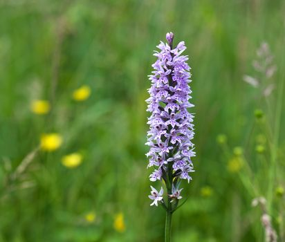 Common Spotted Orchid(Dactylorhiza fuchsii)