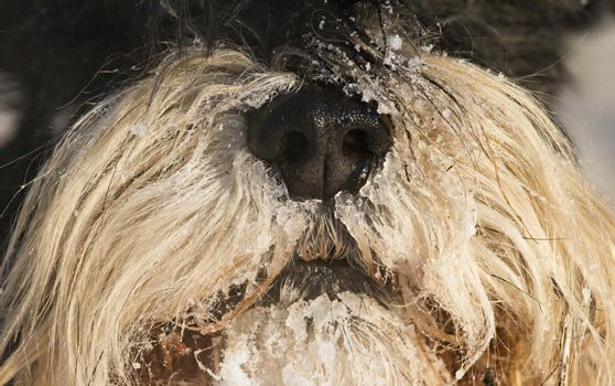 Dog's snout in winter