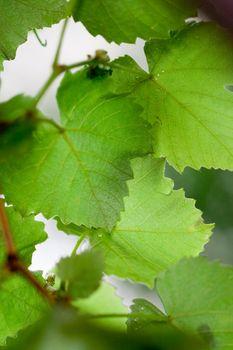 grren leaves