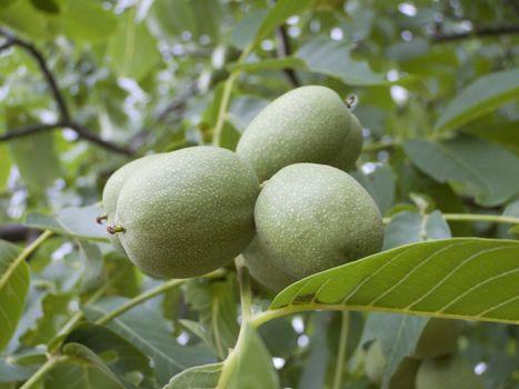Close-up of unripe walnuts on a walnut tree
