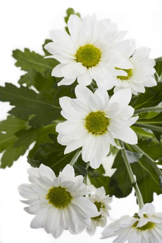 detail of white chrysanthemum blossom on white background