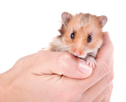 close-up hamster in hand, isolated on white