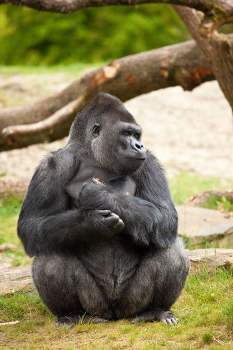 Gorilla man closing his eyes