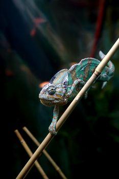 chameleon lizard crawling on a bamboo stalk