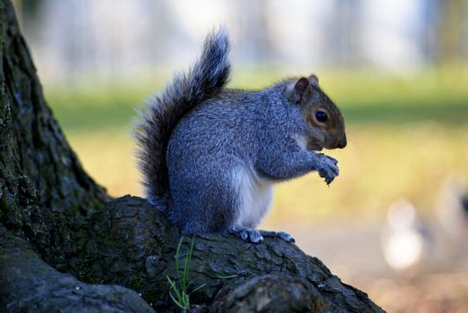 Little curious grey squirrel on green meadow eating a nut