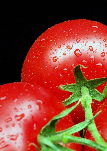 Two ripe tomatoes on vine covered in water droplets. SDOF.       .