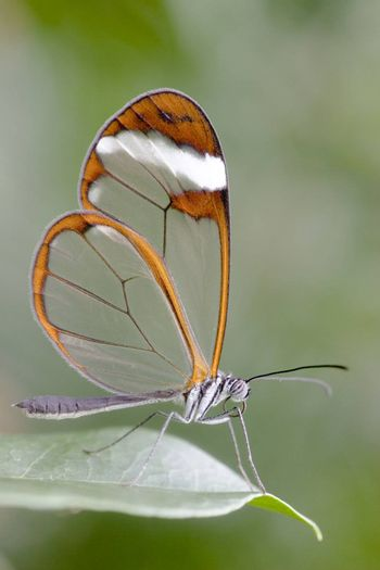 Closeup of an butterfly with transparent wings. You can see every detail of the butterfly.