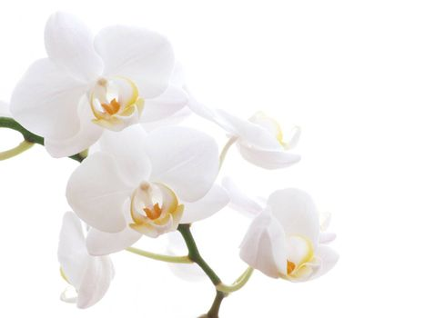 Closeup of a white orchid - isolated on white