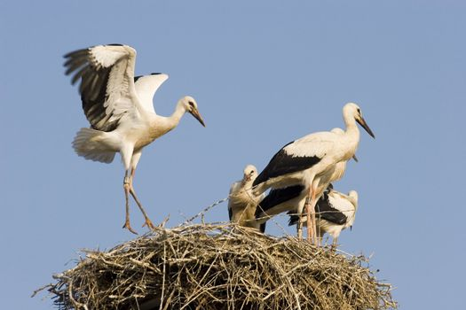 Young storks on the nest - Palatinate Germany