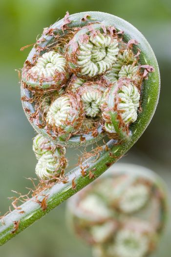 Detail of a giant fern in Brasil. Focus on the fiddlehead in the foreground.