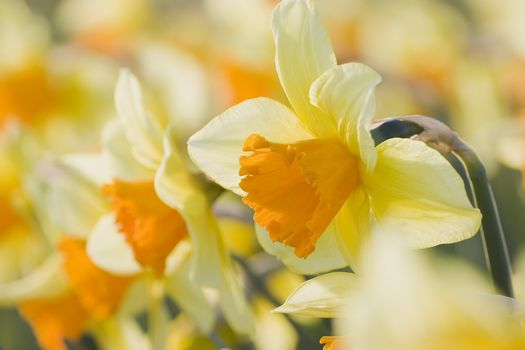 Close-up in a flowerbed of orange daffodils. Focus on the daffodil in the foreground
