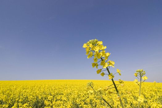 Close-up of a yellow flower in a big field of rapeseed