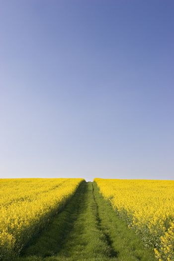 Way between fields of rapeseed against clear blue sky