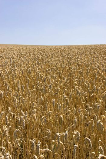 Field of wheat against blue sky