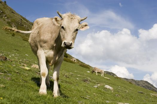 Curious calf in the mountains with blue sky and clouds in the background