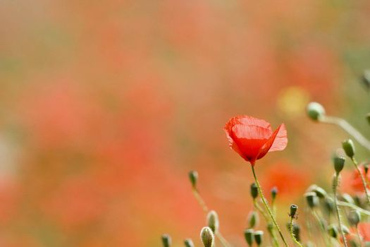 Blossom of a poppy with blurred poppies in the backgroung
