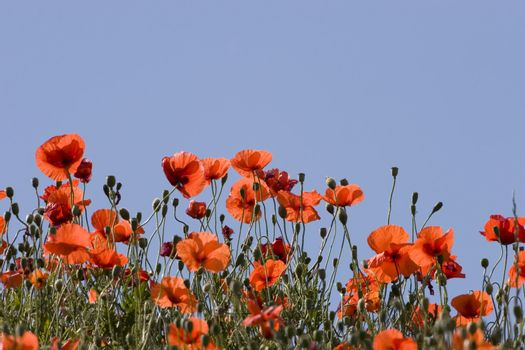 Poppies against clear blue sky