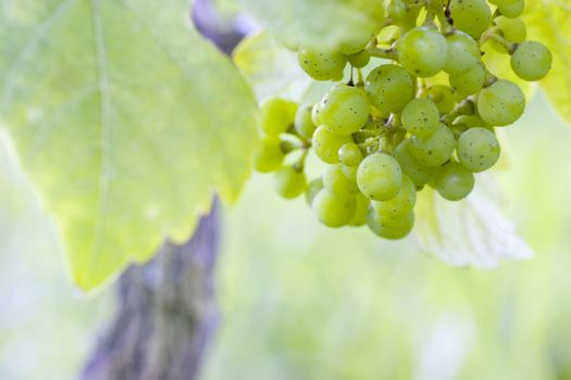White grapes in a french vineyard