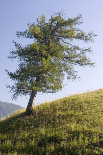 Larch on a hill in the alps