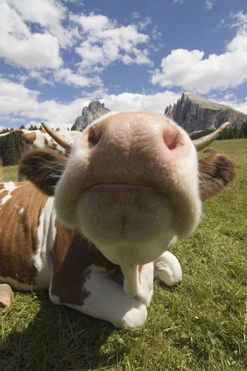 Close-up of a cow on a mountain pasture in the Dolomites with the Langkofel in the background - Seiseralm - Italy