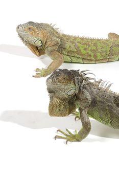 iguana with big beard isolated on a white background