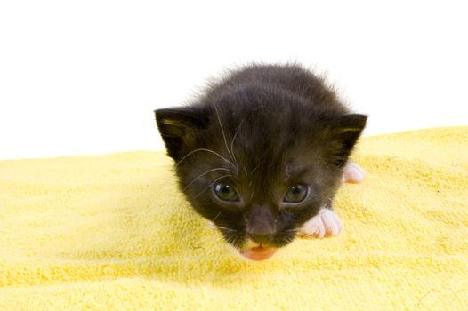 curious two weeks old  black kitten