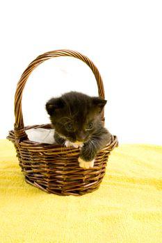 two weeks old  black kitten in a basket