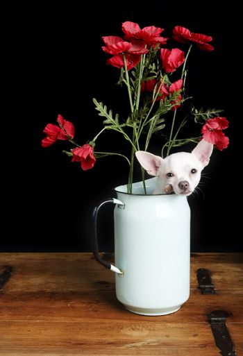 A chihuahua posing for the camera