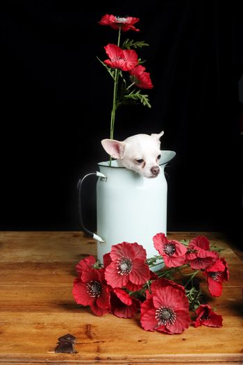 A chihuahua posing with some flowers.