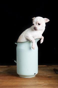 Worried Chihuahua