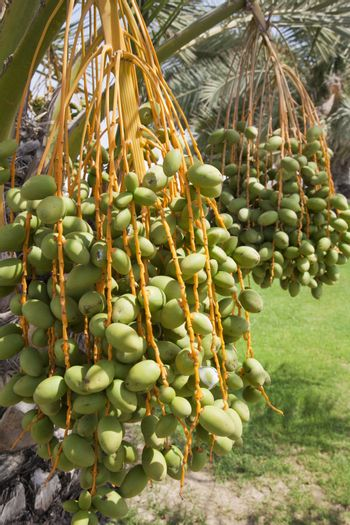 Dates Growing on Trees