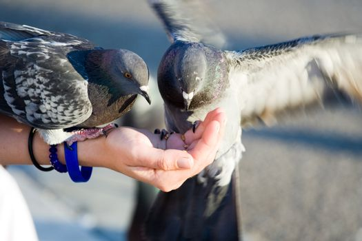Woman cares of pigeons that are feeding seeds from palm