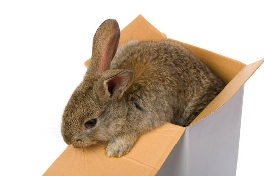 close-up bunny in box as gift, isolated on white