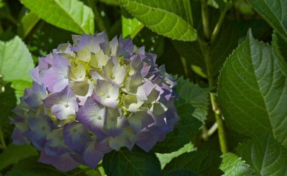 Sunlit Hydrangea