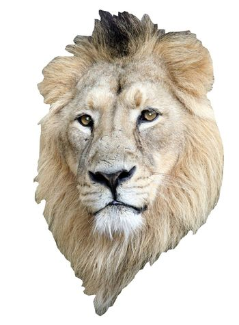 Isolated Lion head and mane